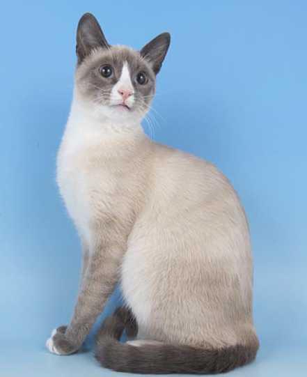 Rescue Snowshoe Cat